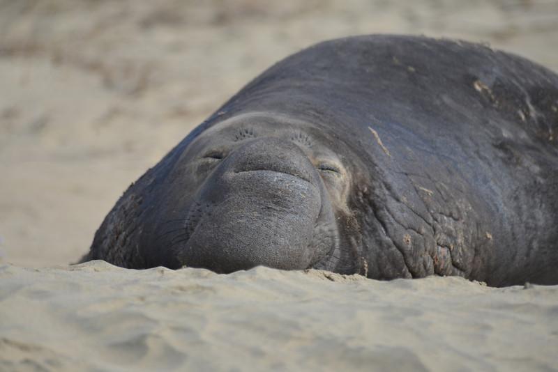 ano-nuevo-elephant-seals-2013 65.jpg