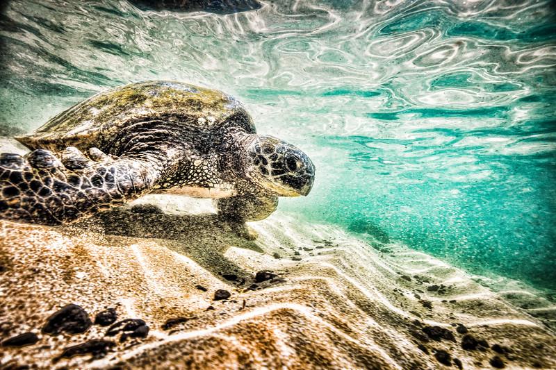Sea Turtle Photo Topsail Island NC.jpg