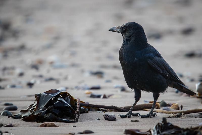 Crow and Kelp