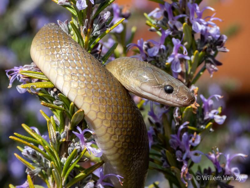20200824 Olive Snake (Lycodonomorphus inornatus) from Rawsonville, Western Cape