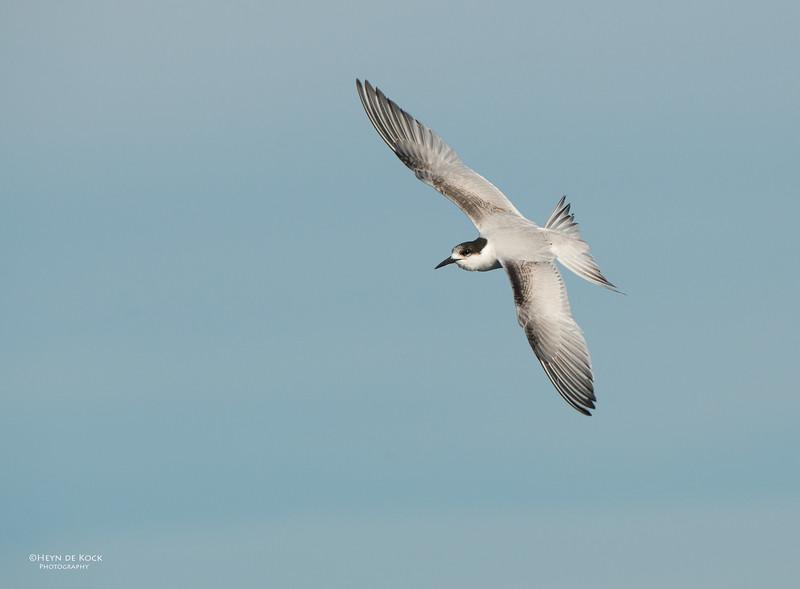 White-fronted Tern, Wollongong Pelagic, NSW, Aus, May 2014-2.jpg