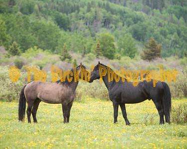 Alberta Wild Horses Spring 2019
