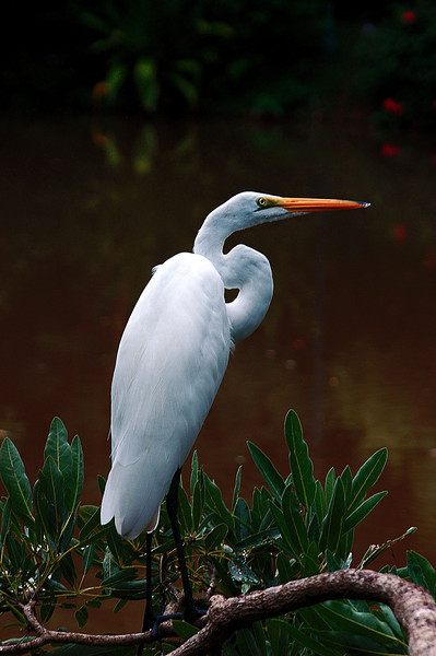Egret on branch  PR .jpg