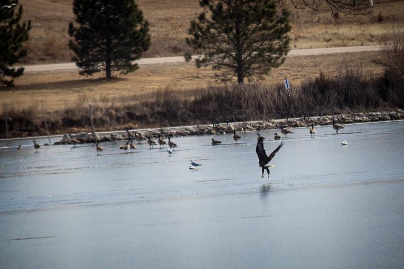 Eagle Soaring lake-7118.jpg