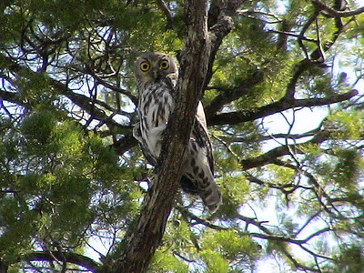 Owls of Australia