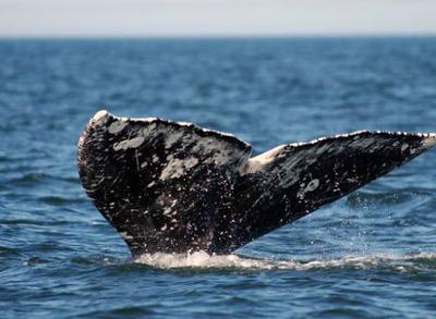 gray-whale-fluke.jpg