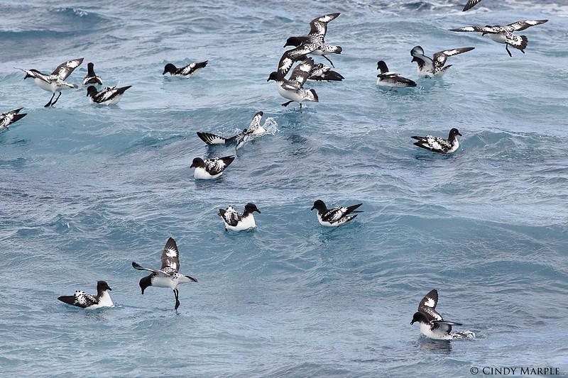 Cape Petrel (Pintado Petrel)