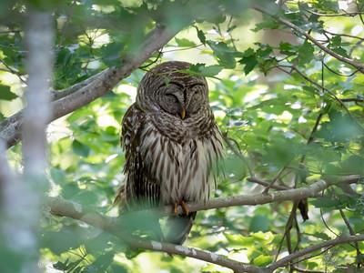 Barred Owl, 1 June 2021