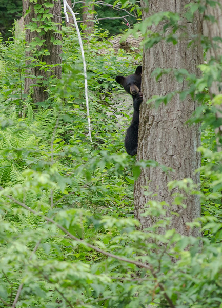 Black Bear in Yard-102-44.jpg