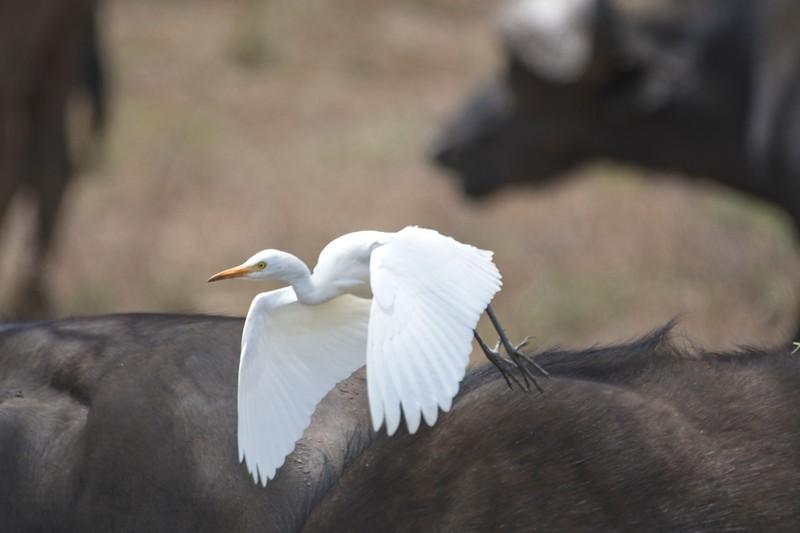 Cape Buffalo13.jpg