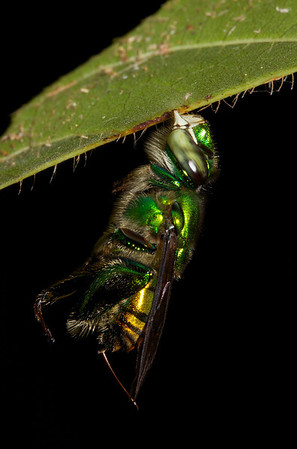 Orchid Bees - Apidae