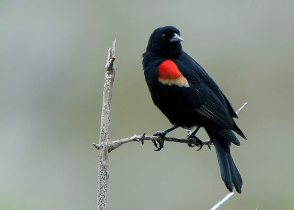 Blackbirds and a Cormorant