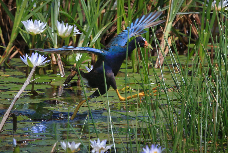 zAnahuac 8-21-14, Old T3i, 247B, cropped, Gallinule adult jumping across water (1 of 1).jpg