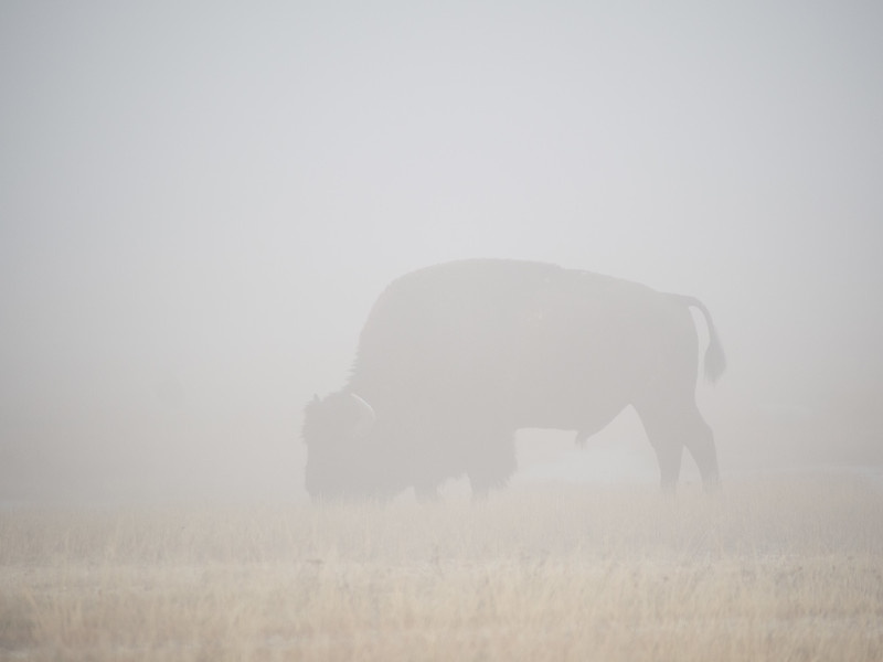 Bison in Profile in Fog