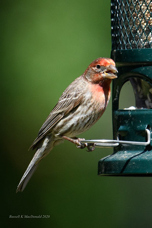 2020-05-07 House Finch Portraits