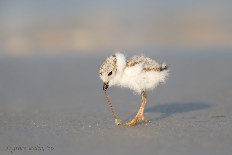 Piping Plover Chick, Worm pull