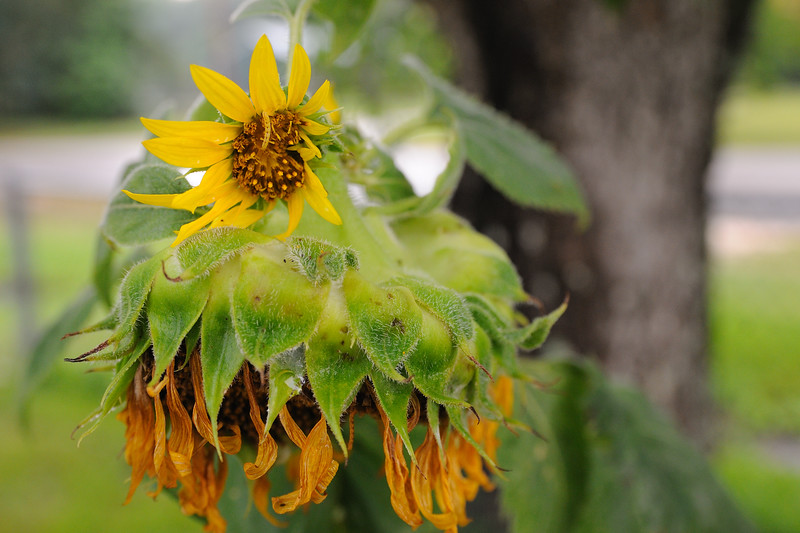 """Well, my sunflower didn't do too well.  I think the overabundance of rain generated five """"sapsuckers"""" that took all the nutrients from the main head and it couldn't survive."""
