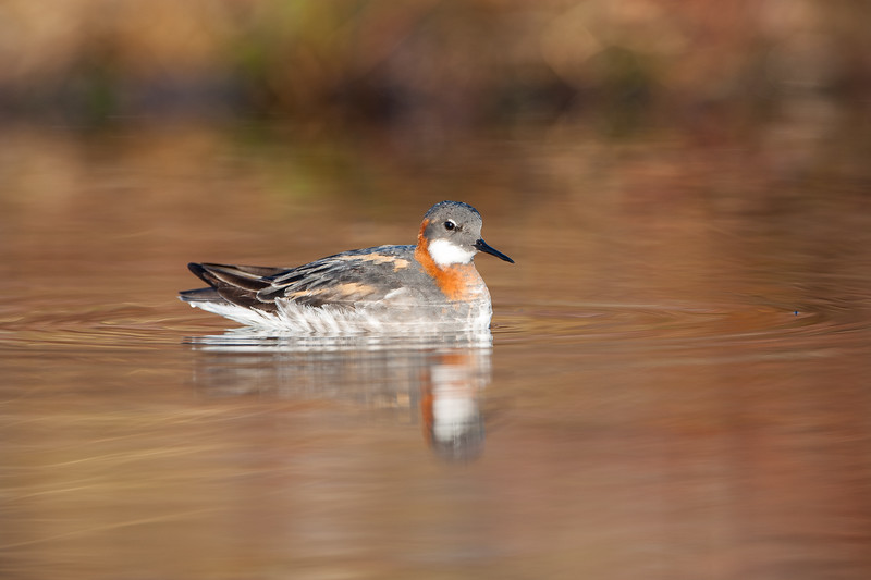 Red necked phalarope , Smalnäbbad simmsnäppa