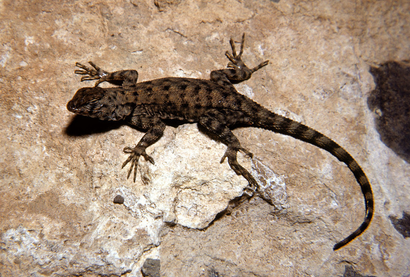Canyon Lizard (Sceloporus merriami)