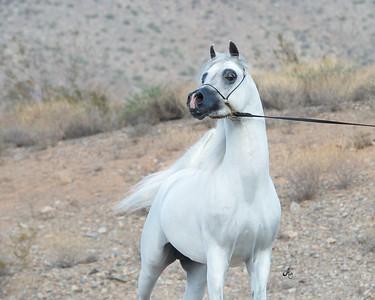 Dynasty Arabians