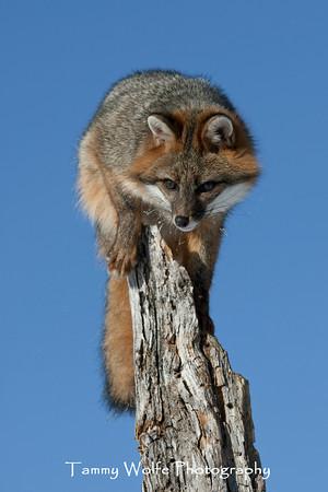 Fox, Gray