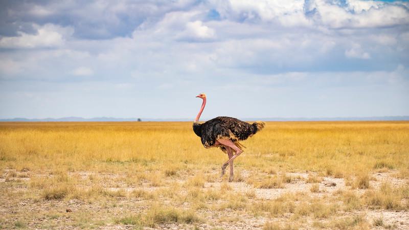 Male Ostrich (1 of 1).jpg
