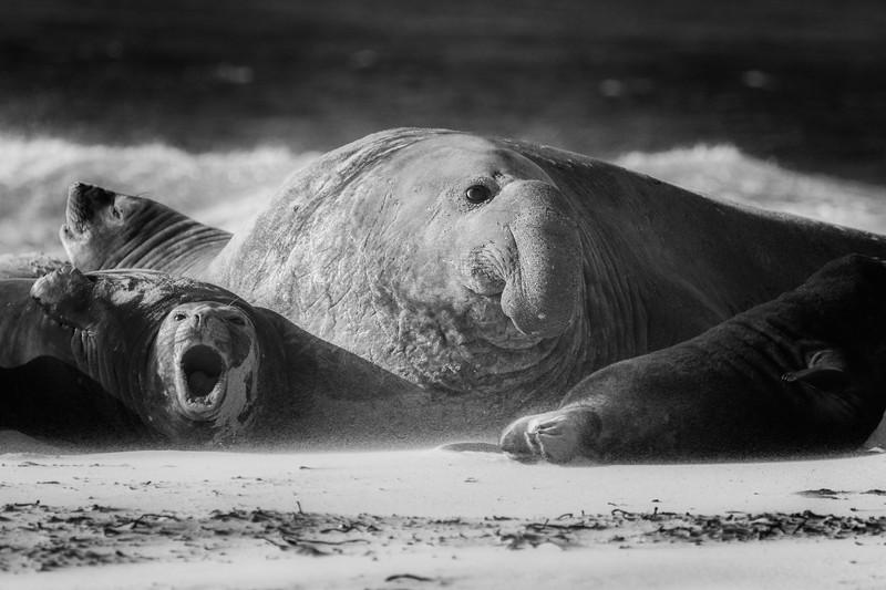 Southern elephant seals, Sea Lion Island, Falklands