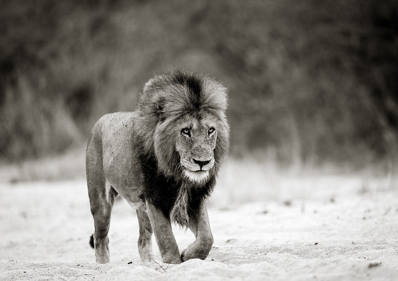 Male Lion Patrolling