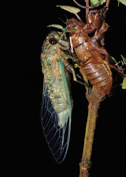 Molting-Cicada-04.jpg