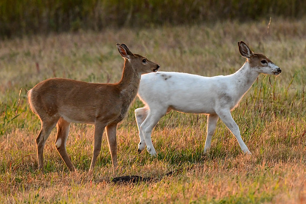 9-5-17 Piebald White-tailed Deer Family am