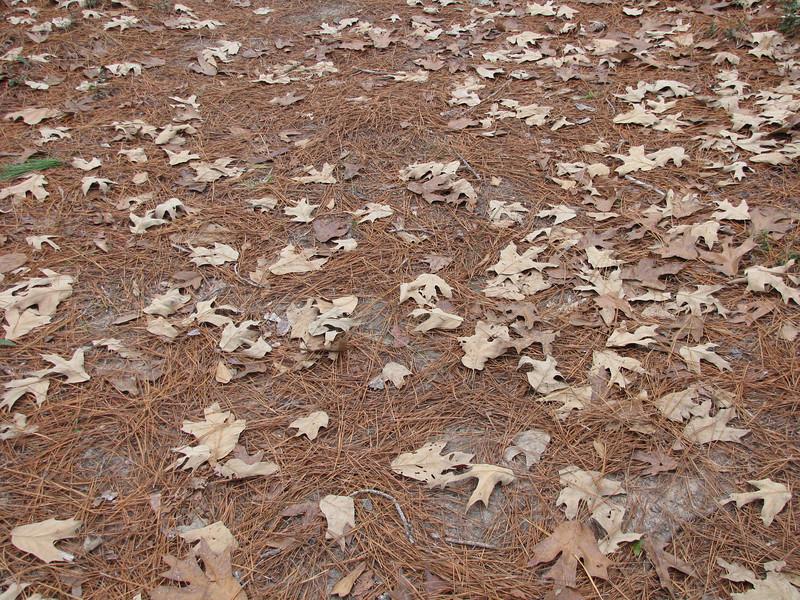 leaf litter 1.JPG