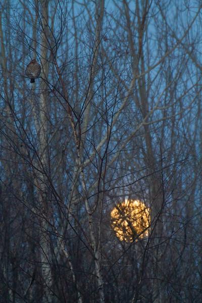 Ruffed Grouse and full moon CR83 Sax-Zim Bog MN-0166.jpg