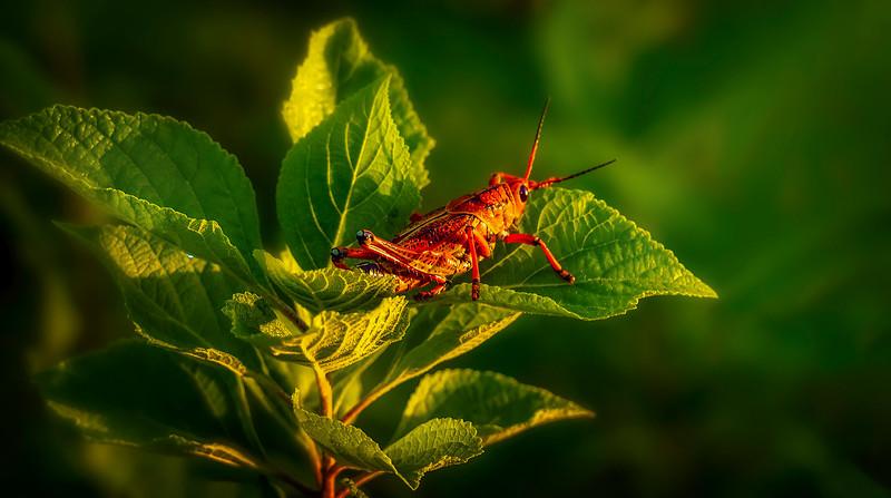 Grasshoppers 50.jpg