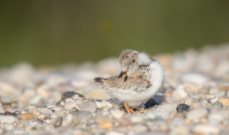 Piping Plover Fledgling Preening