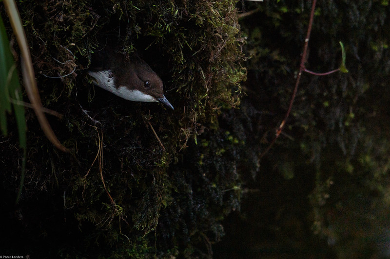 Dipper at its Nest