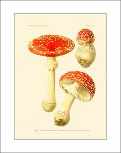 Mushrooms 1891