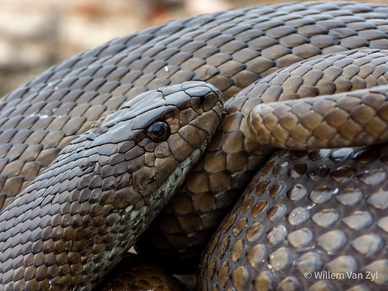 20201024 Mole Snake (Pseudaspis cana) from Sunset Beach, Western Cape