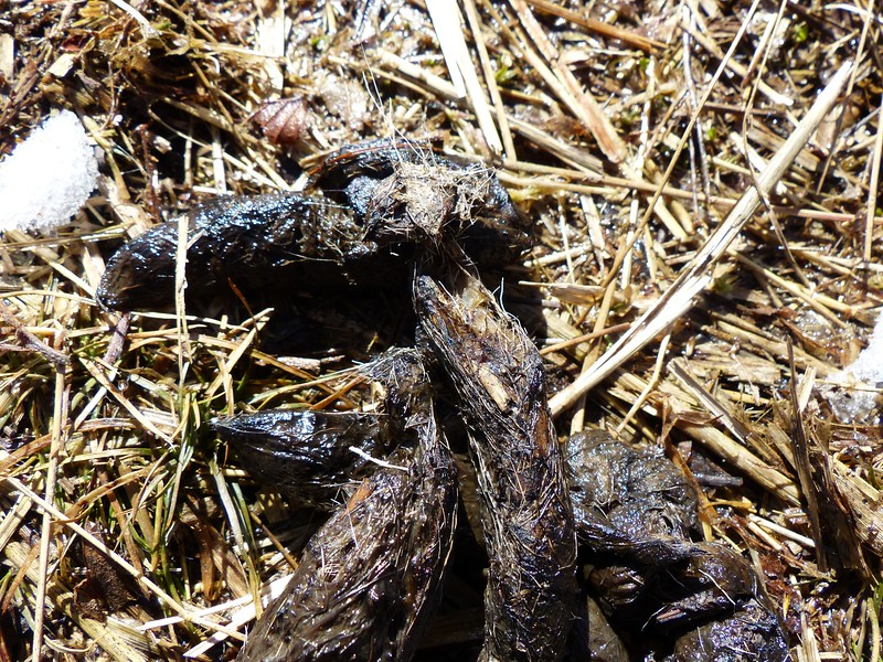 "Coyote or Red Fox scat - not sure due to scat width of .75"" which could be for either species"