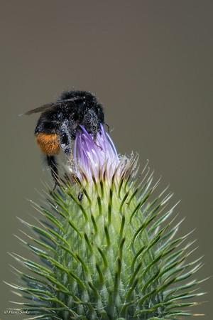 Bumblebee, Bombus lapidarius