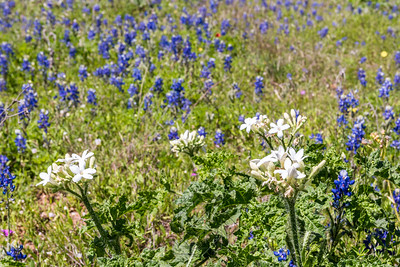 Wildflowers North_1902_Art Hedwigs Hill