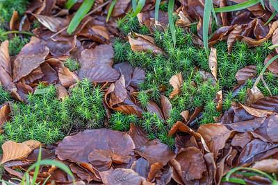 Bryophytes (Mousses)