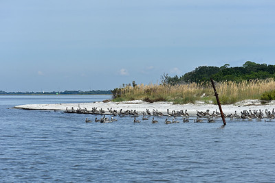 Jekyll Island Boat Tours - Pelicans and the Mary Ann 10-18-19