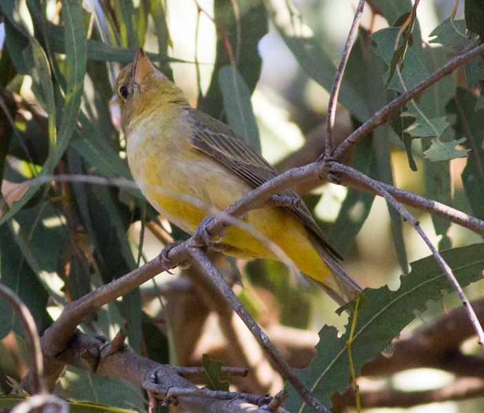 Summer Tanager  Balboa Park 2015 02 15-2.CR2