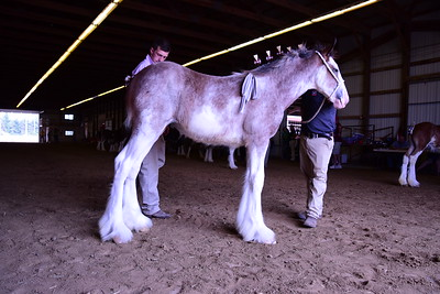 Clydesdale Filly Foal