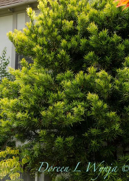 Podocarpus macrophyllus_953.jpg