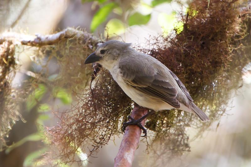 Woodpecker Finch at Santa Cruz, Galapagos, Ecuador (11-20-2011) - 867.jpg