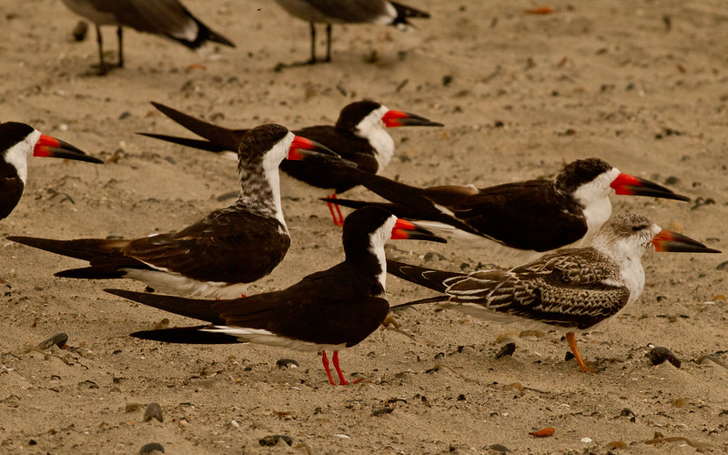 Black Skimmer Ponto Beach Carlsbad 2011 10 06-1.CR2