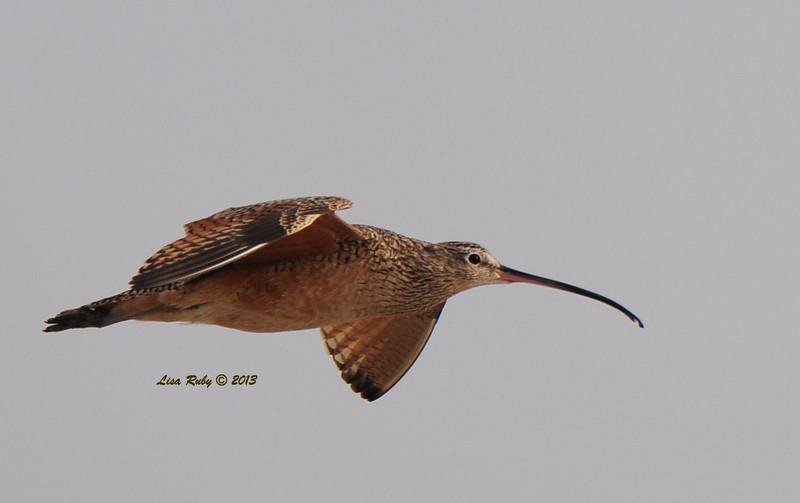 Long-billed Curlew - 3/24/13 - Imperial Beach near river mouth