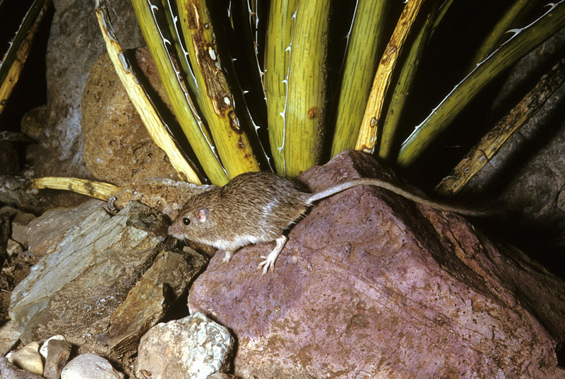 Nelson's Pocket Mouse (Chaetodipus nelsoni)