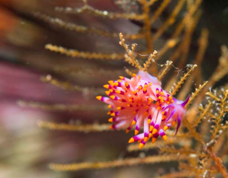 nudibranch cuthona simbogae.jpg